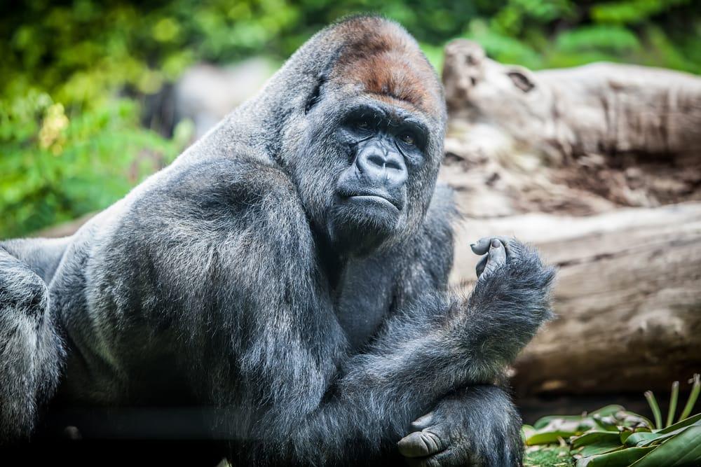 silver-back big male gorilla on zoo